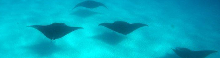 School of Stingray
